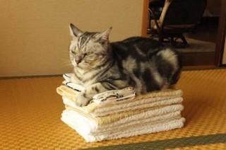 バスタオルが高い猫